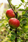 Red and green apples on the tree — Stock Photo