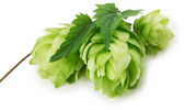 Green hops isolated on the white background — Foto de Stock