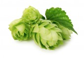 Green hops isolated on the white background — Stock Photo