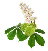 Green chestnuts with leaves and flowers isolated on the white ba — Stock fotografie