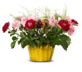 Basket of roses on the white background — Stock fotografie