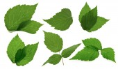 Leaves of blackberry isolated on the white background — Stok fotoğraf