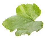Grape leave isolated on the white background — Stock Photo