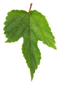 Hop leaf  isolated on the white background — Stock Photo