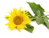 Sunflower isolated on the white background — Stock Photo