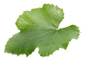 Grape leaf isolated on the white background — ストック写真