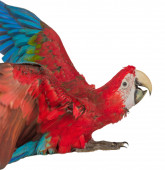 Colorful macaw isolated on the white background — Stock Photo