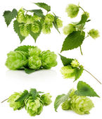 Set of green hops isolated on the white background — Stock Photo