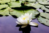 White water lily - a symbol of happiness and purity - flower — Stockfoto