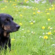 Dog lying in the grass — Stock Photo #73701983