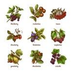 Sketch berries colored set — Stock Vector #54335445