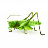 Grasshopper realistic isolated — Stock Vector