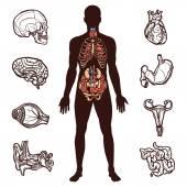 Human Anatomy Set — Stock Vector