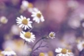 Stokrotka kwiat — Zdjęcie stockowe