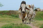 Cows — Stock Photo