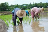 Transplant rice seedlings — Stock Photo