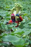 Lotus farm — Stock Photo
