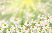 Flower field with sunlight — Stock Photo