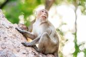 Monkey (Crab-eating macaque) on tree in Thailand — Stock Photo