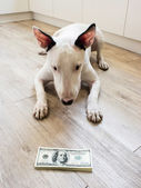 Bull Terrier dog looking to money — Stock Photo