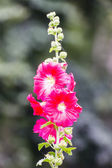 Red Hollyhock — Stock Photo
