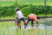 Thai farmer planting on the rice field — Stock Photo