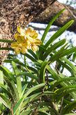 Blossom yellow vanda orchid — Stock Photo