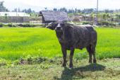 Black buffalo in field — Stock Photo