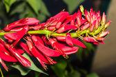 Erythrina variegata (Parichat flowers) — Stock Photo