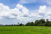 Green rice field in Thailand, Asia — Stock Photo