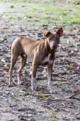 Thailändska herrelös hund — Stockfoto