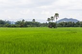 Paddy field with parm tree in thailand — Stock Photo