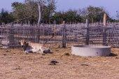 Thai cows in farm — Stock Photo