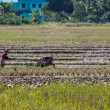 Asia Farmer using tiller tractor in rice field — Stock Photo #70477367