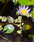 Purple water lily, lotus — Stock Photo