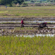 Asia Farmer using tiller tractor in rice field — Stock Photo #74209479