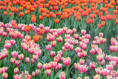 Pink and red tulips — Stock Photo