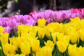 Yellow and pink tulips field — Stock Photo