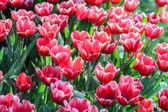 красное поле тюльпанов — Стоковое фото