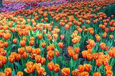 Oranžové tulipány — Stock fotografie