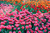 Red and pink tulips field — Stock Photo