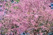 Pink sakura flowers — Stock Photo