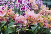 Pink orchid flowers in the garden — Stock Photo