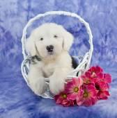 Cachorro de perro ovejero — Foto de Stock