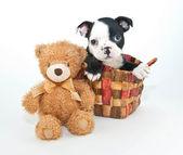 Boston Terrier Puppy — Stock Photo