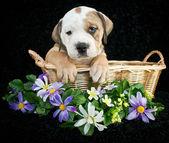 Sweet Bulldog Puppy — Stock Photo
