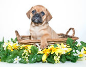 Puggle Puppy — Stock Photo