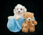 Cavachon Puppy — Stock Photo