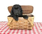 Newfoundland Puppy — Stock Photo