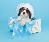Baby Boy Puppy — Stock Photo